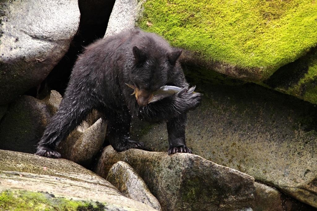 Cerny medved pri lovu lososa