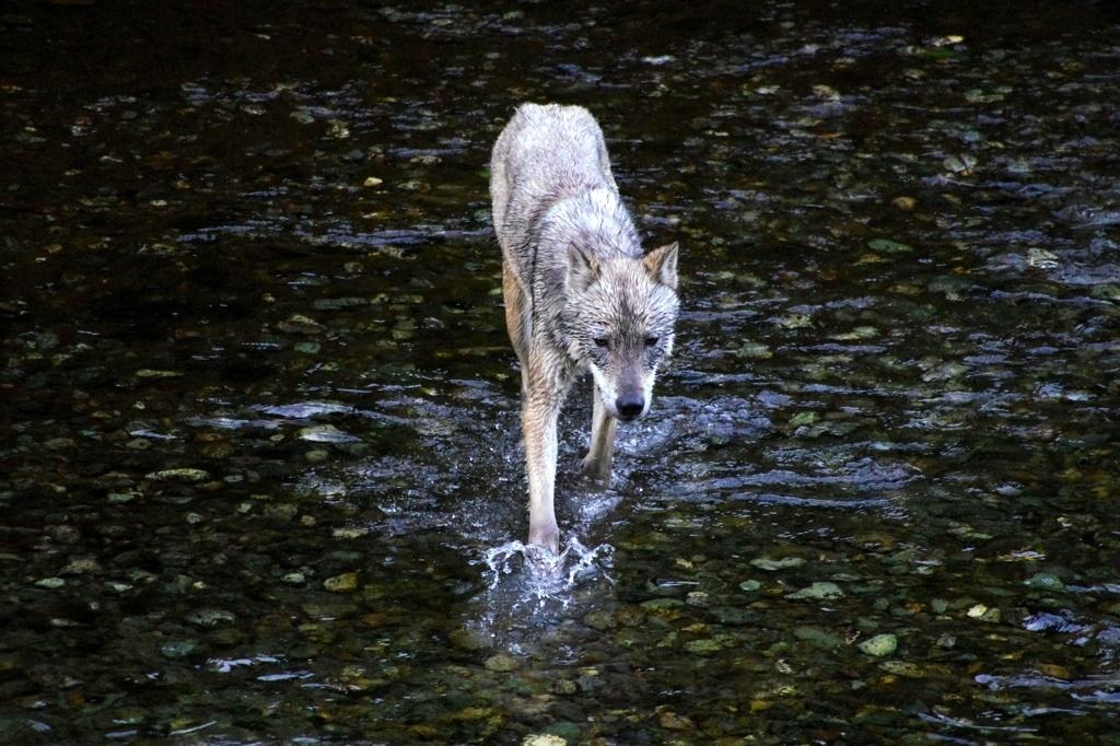 Vlk lovici lososy v rece Fish Creek u mestecka Hyder