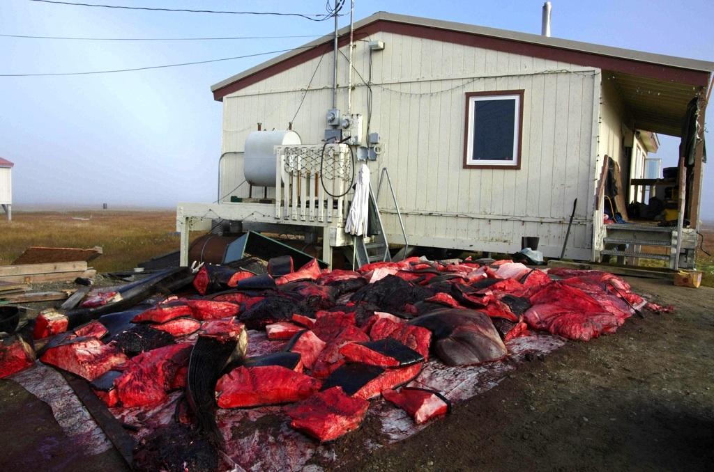 Velrybí maso se naporcuje hned po vytažení z vody přímo na pláži a pak převeze k domu kapitána
