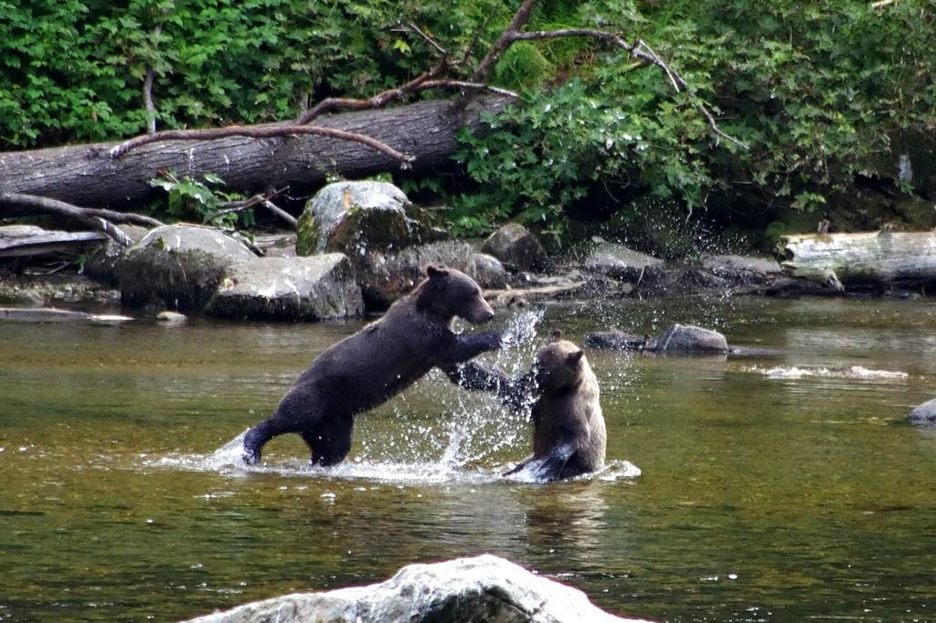 Mladata grizzly dovadejici v rece v Ananu