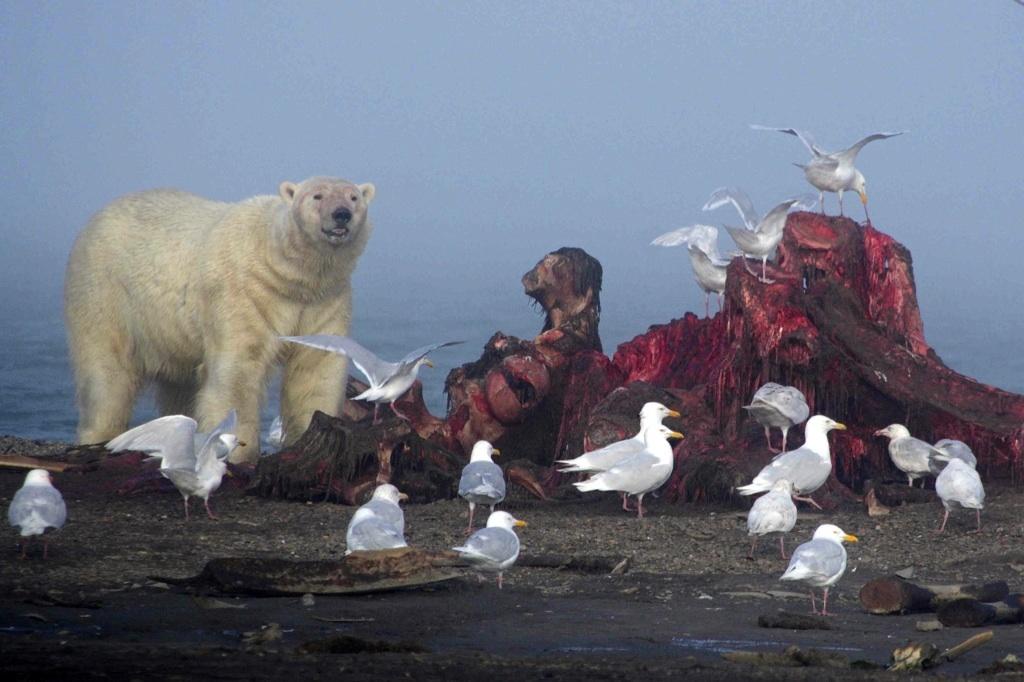 Lední medvěd u velrybích ostatků na pláži za vesnicí Kaktovik